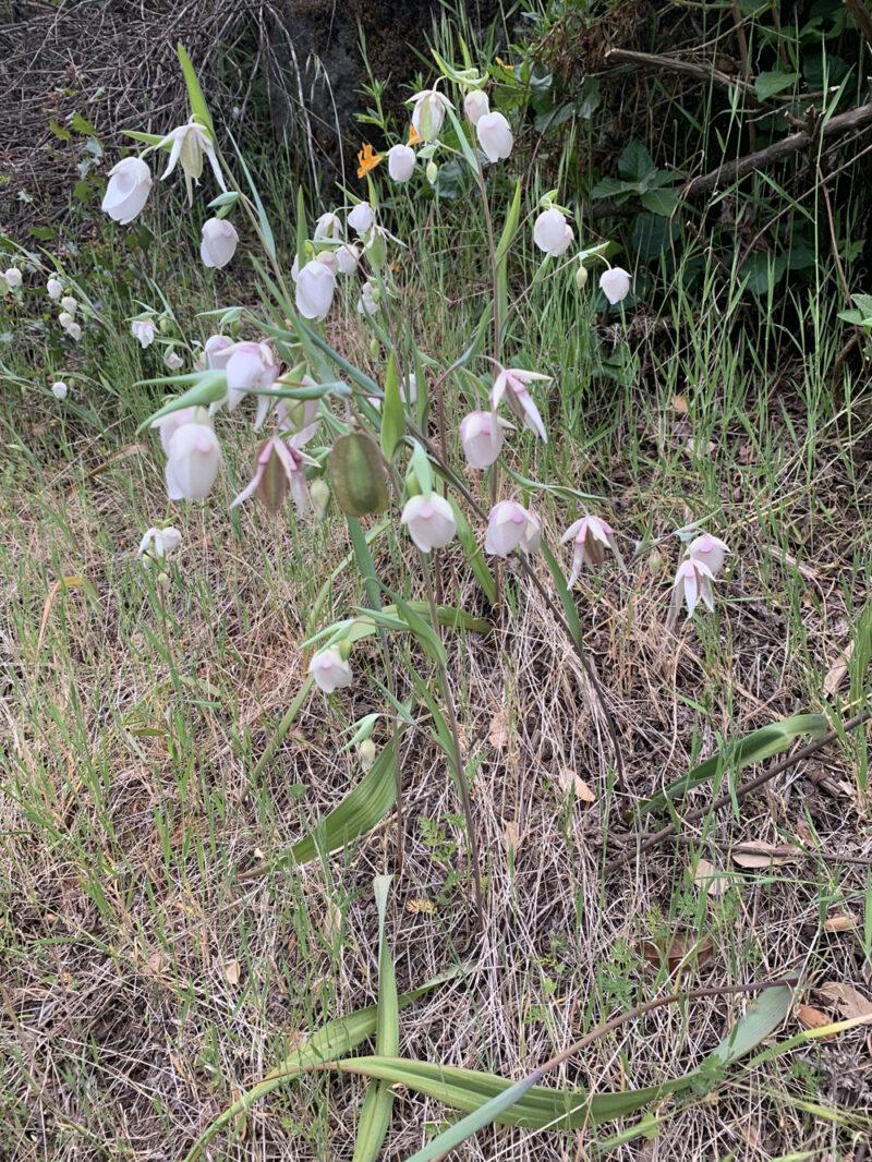 fairy lantern flowers california