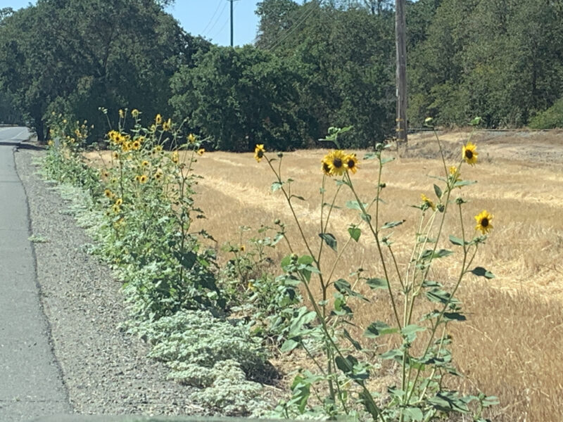 wild sunflowers on the side of the road in California