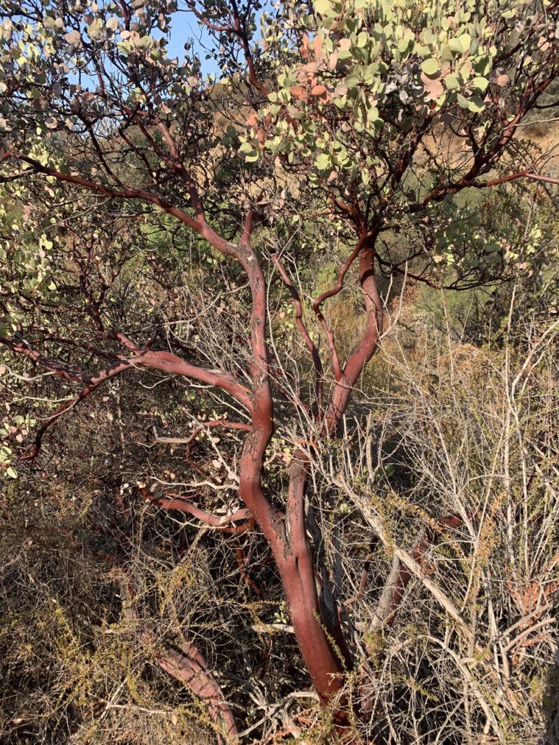 manzanita bush in california