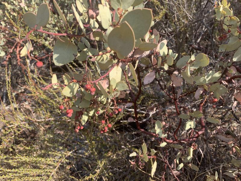 manzanita bush with berries in california